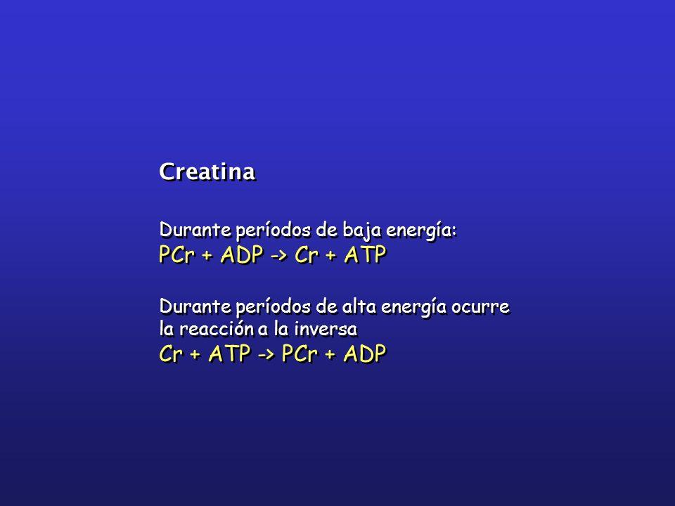 Creatina Durante períodos de baja energía: PCr + ADP -> Cr + ATP Durante períodos de alta energía ocurre la reacción a la inversa Cr + ATP -> PCr + AD