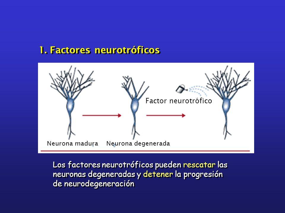 Los factores neurotróficos pueden rescatar las neuronas degeneradas y detener la progresión de neurodegeneración 1. Factores neurotróficos Neurona mad