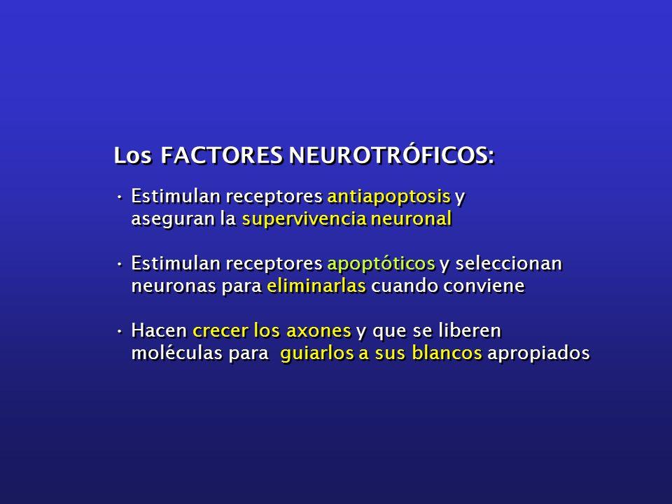 Los FACTORES NEUROTRÓFICOS: Estimulan receptores antiapoptosis y aseguran la supervivencia neuronal Estimulan receptores apoptóticos y seleccionan neu