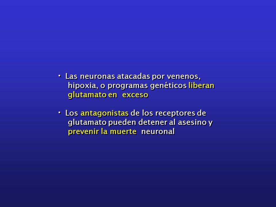 Las neuronas atacadas por venenos, hipoxia, o programas genéticos liberan glutamato en exceso Los antagonistas de los receptores de glutamato pueden d