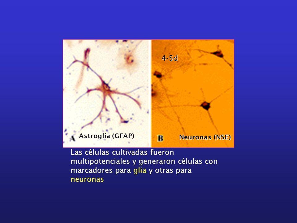 Las células cultivadas fueron multipotenciales y generaron células con marcadores para glia y otras para neuronas Astroglia (GFAP) Neuronas (NSE) 4-5d
