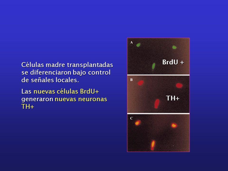 Células madre transplantadas se diferenciaron bajo control de señales locales. Las nuevas células BrdU+ generaron nuevas neuronas TH+ BrdU + TH+