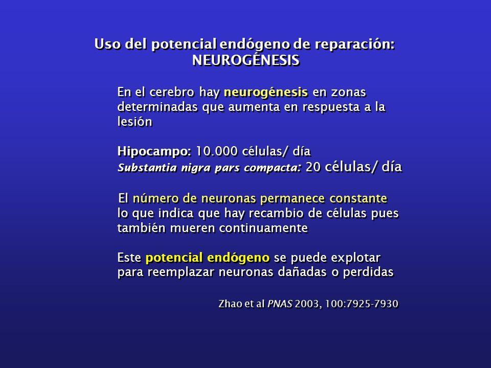 En el cerebro hay neurogénesis en zonas determinadas que aumenta en respuesta a la lesión Hipocampo: 10.000 células/ día Substantia nigra pars compact