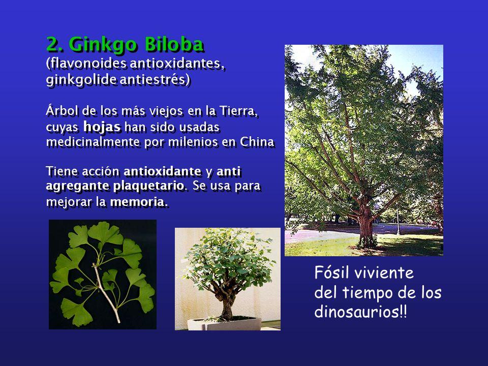 2. Ginkgo Biloba (flavonoides antioxidantes, ginkgolide antiestrés) Árbol de los más viejos en la Tierra, cuyas hojas han sido usadas medicinalmente p