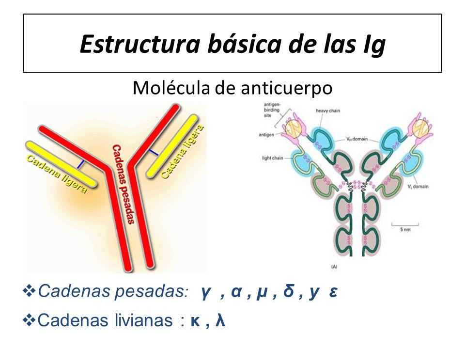 Estructura básica de las Ig Molécula de anticuerpo Cadenas pesadas : γ, α, μ, δ, y ε Cadenas livianas : κ, λ