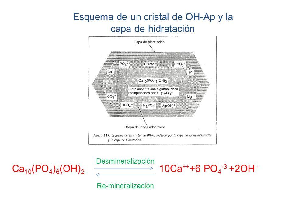 Esquema de un cristal de OH-Ap y la capa de hidratación Ca 10 (PO 4 ) 6 (OH) 2 10Ca ++ +6 PO 4 -3 +2OH - Desmineralización Re-mineralización