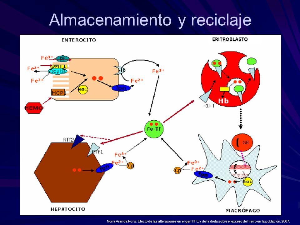 Almacenamiento y reciclaje Nuria Aranda Pons. Efecto de las alteraciones en el gen HFE y de la dieta sobre el exceso de hierro en la población. 2007.