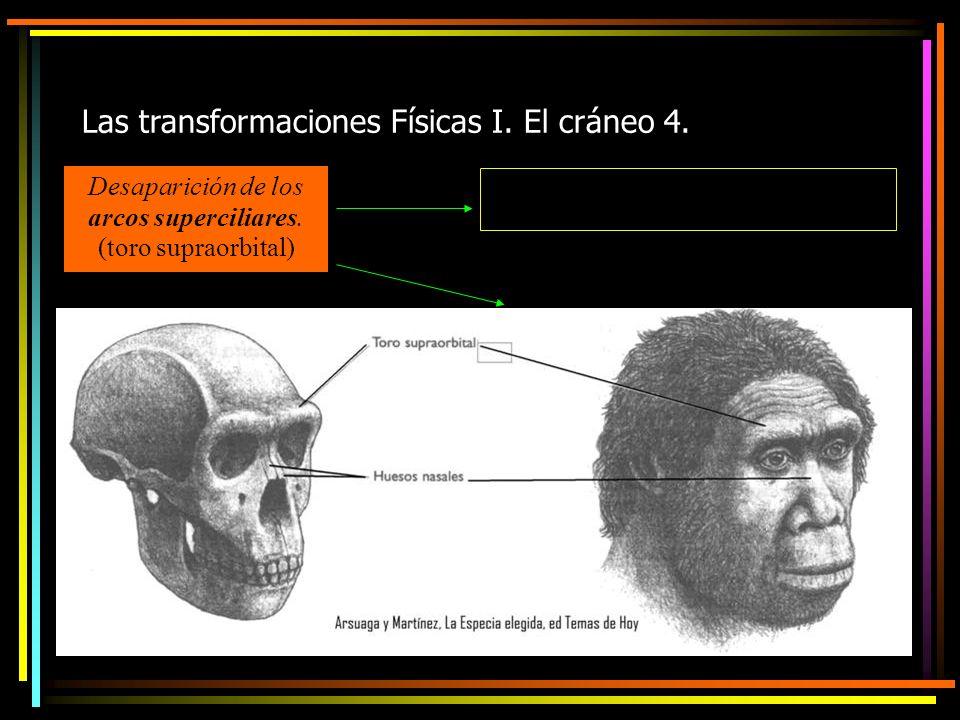 Las transformaciones Físicas I. El cráneo 4. Desaparición de los arcos superciliares.