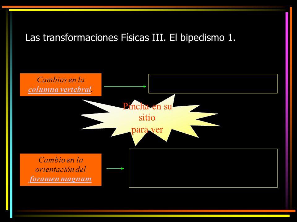 Las transformaciones Físicas III. El bipedismo 1.