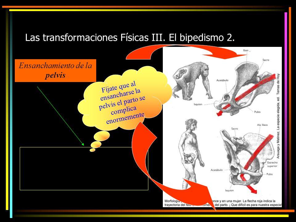 Las transformaciones Físicas III. El bipedismo 2.