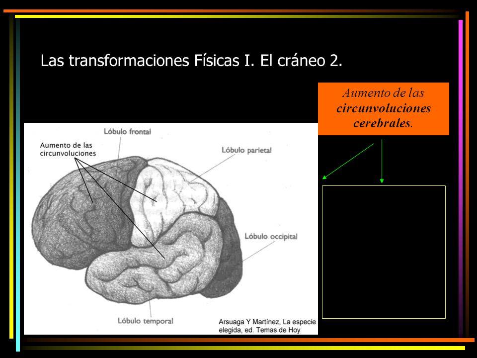 Aumento de las circunvoluciones cerebrales.