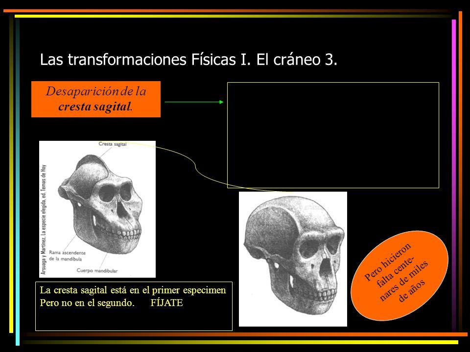 Las transformaciones Físicas I. El cráneo 3. Desaparición de la cresta sagital.