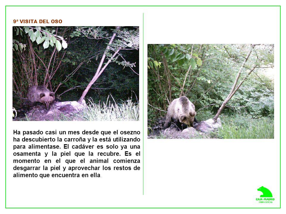 9ª VISITA DEL OSO Ha pasado casi un mes desde que el osezno ha descubierto la carroña y la está utilizando para alimentase.