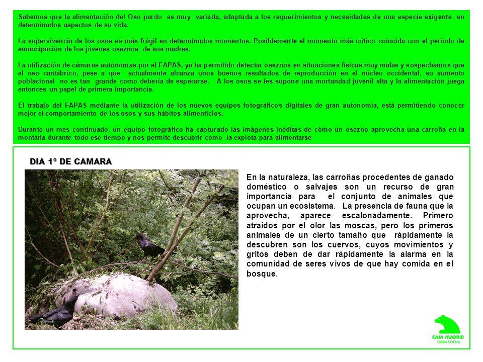 Colabora: Más información sobre el Proyecto de Control Fotográfico de la Población de Oso Pardo Cantábrico en: http://video.alisys.net/cajamadrid/obrasocial/osos/index.html FAPAS, Fondo para la Protección de los Animales Salvajes Las Escuelas s/n.