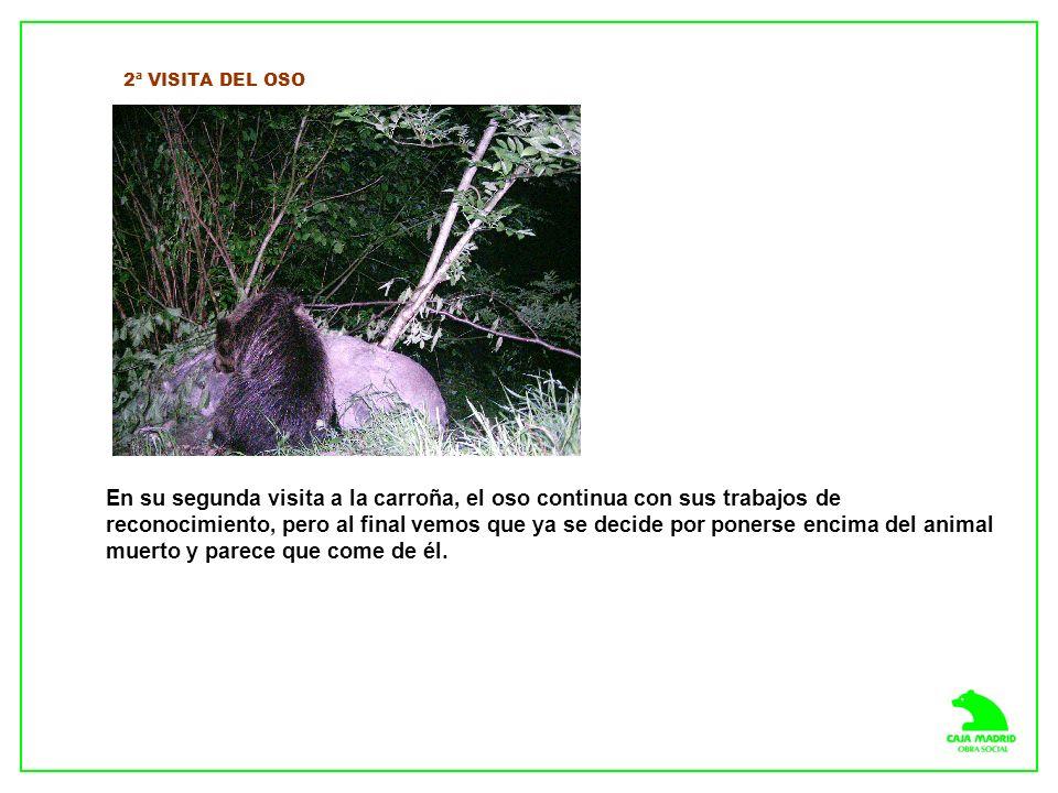 2ª VISITA DEL OSO En su segunda visita a la carroña, el oso continua con sus trabajos de reconocimiento, pero al final vemos que ya se decide por ponerse encima del animal muerto y parece que come de él.