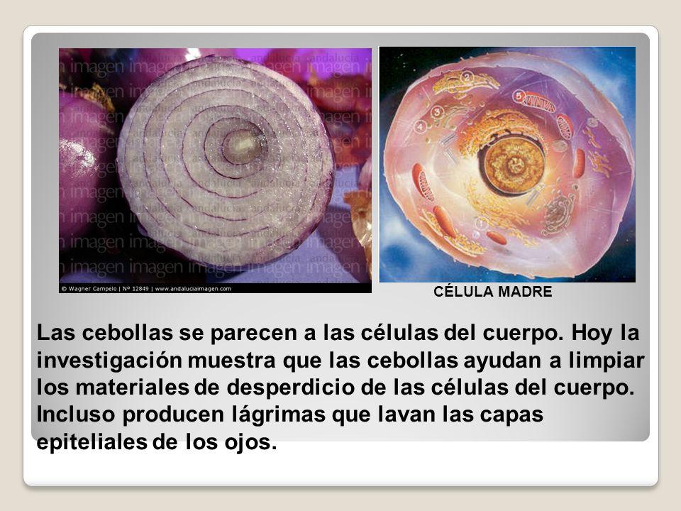 Las cebollas se parecen a las células del cuerpo. Hoy la investigación muestra que las cebollas ayudan a limpiar los materiales de desperdicio de las