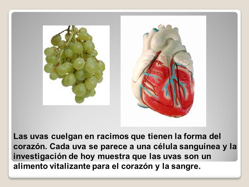 Las uvas cuelgan en racimos que tienen la forma del corazón. Cada uva se parece a una célula sanguínea y la investigación de hoy muestra que las uvas