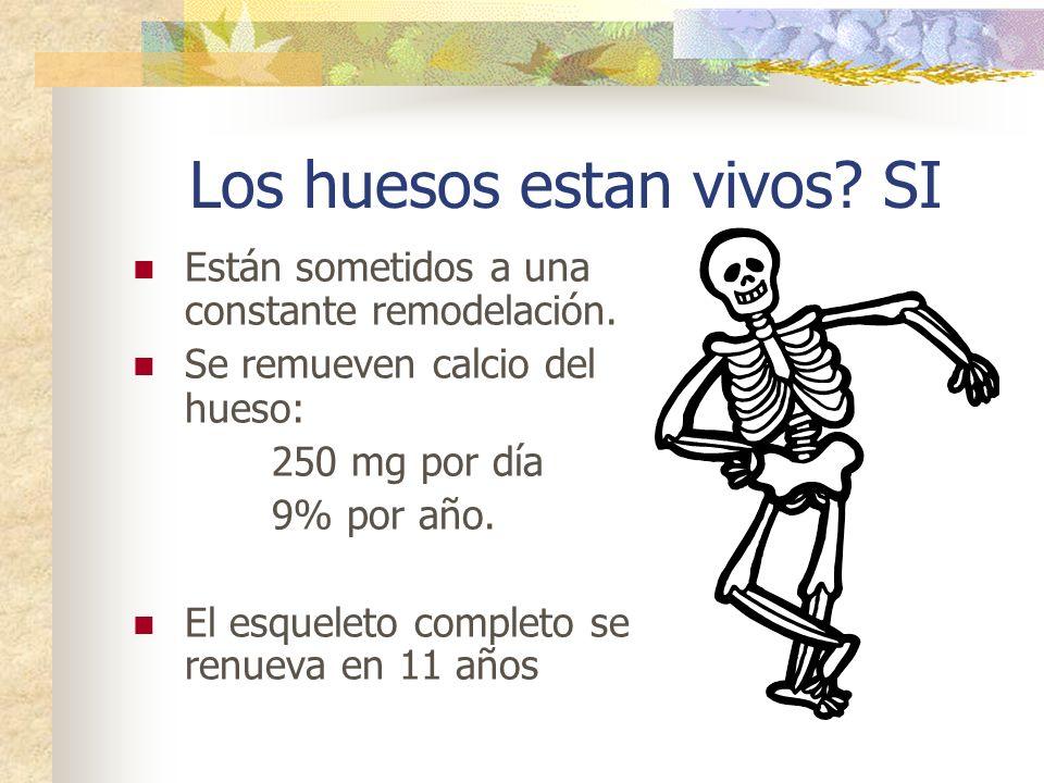 Los huesos estan vivos? SI Están sometidos a una constante remodelación. Se remueven calcio del hueso: 250 mg por día 9% por año. El esqueleto complet