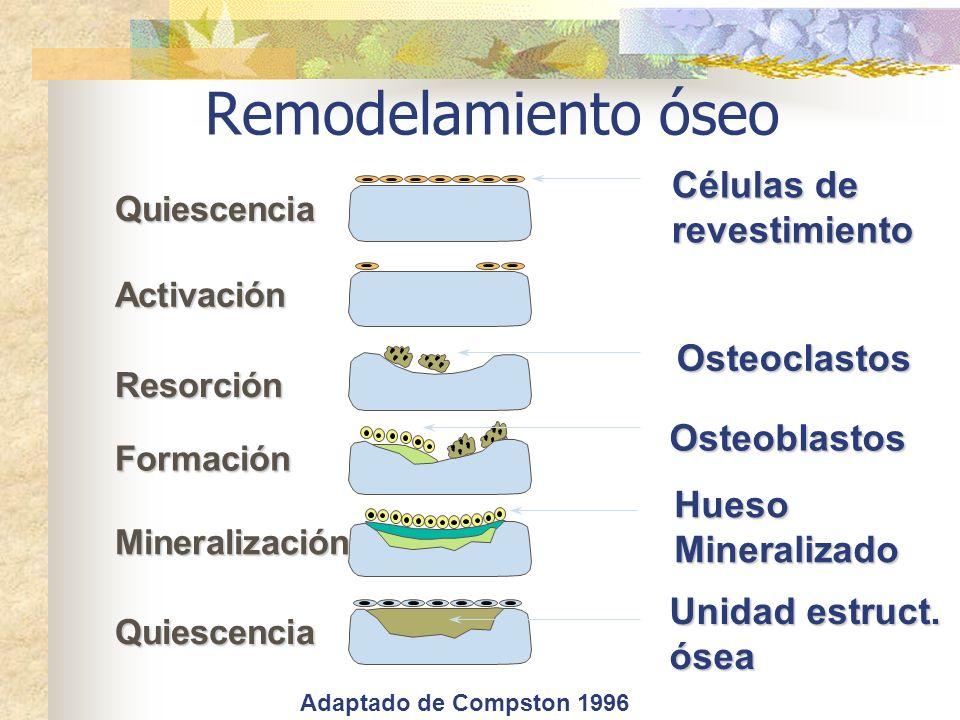 Remodelamiento óseo Quiescencia Activación Resorción Formación Quiescencia Osteoclastos Osteoblastos Células de revestimiento HuesoMineralizado Minera