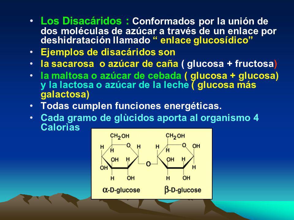 Los Monosacáridos : formados por solo una molécula de azúcar como la ribosa, la glucosa y la fructosa. Cumplen funciones principalmente energéticas. U