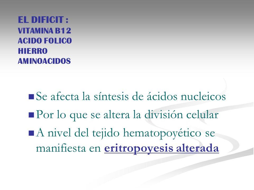 EL DIFICIT : VITAMINA B12 ACIDO FOLICO HIERRO AMINOACIDOS Se afecta la síntesis de ácidos nucleicos Por lo que se altera la división celular A nivel d