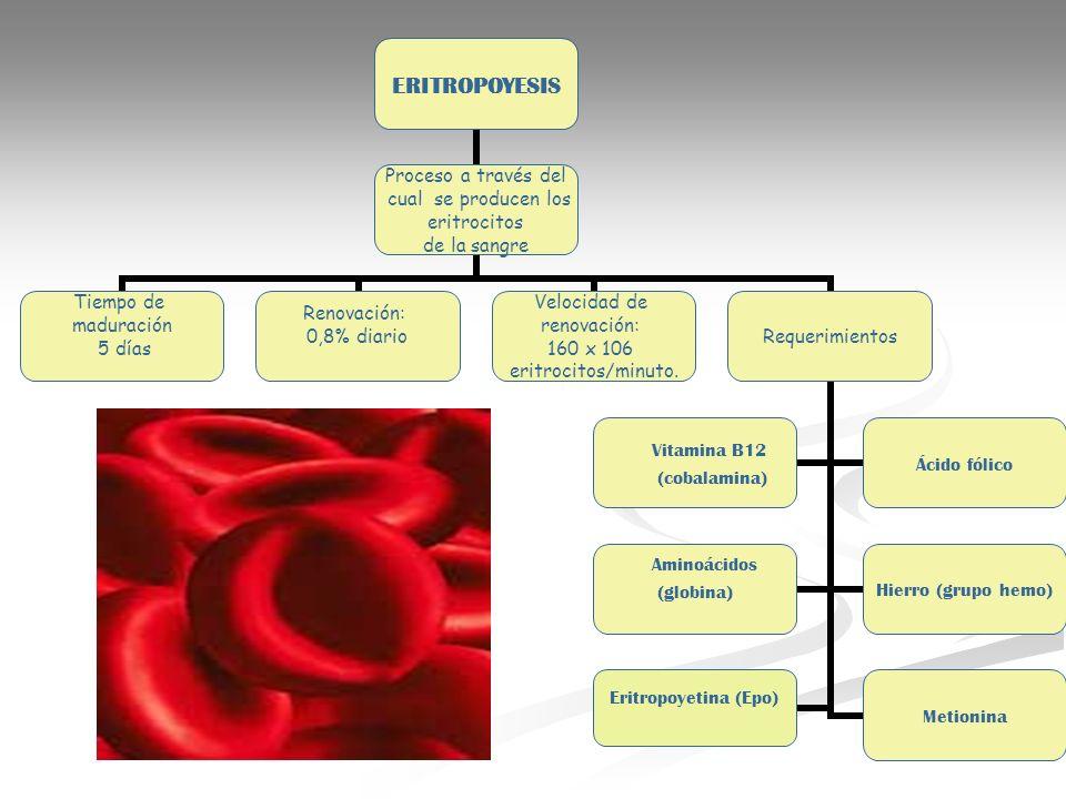 ERITROPOYESIS Proceso a través del cual se producen los eritrocitos de la sangre Tiempo de maduración 5 días Renovación: 0,8% diario Velocidad de reno
