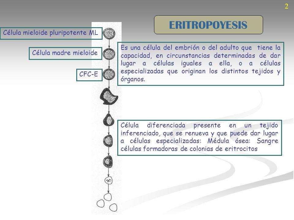 2 Célula mieloide pluripotente ML Célula madre mieloide CFC-E Proeritroblastos ERITROPOYESIS