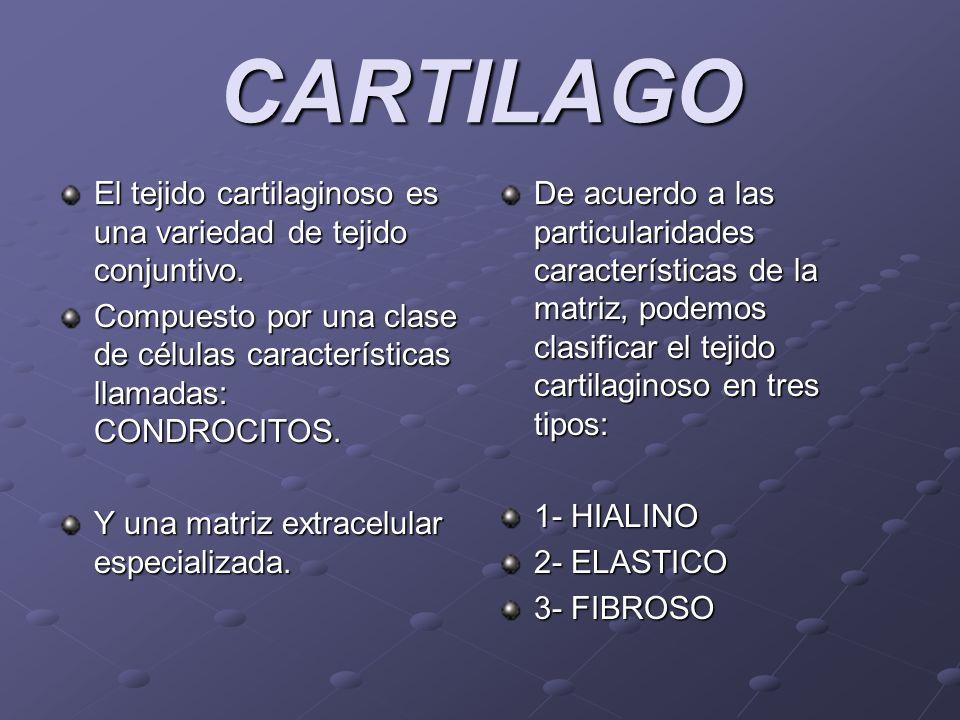 CARTILAGO El tejido cartilaginoso es una variedad de tejido conjuntivo. Compuesto por una clase de células características llamadas: CONDROCITOS. Y un