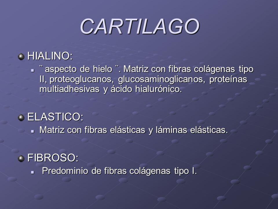 CARTILAGO HIALINO: ¨ aspecto de hielo ¨. Matriz con fibras colágenas tipo II, proteoglucanos, glucosaminoglicanos, proteínas multiadhesivas y ácido hi