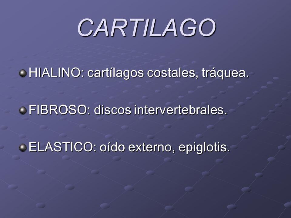 CARTILAGO HIALINO: cartílagos costales, tráquea. FIBROSO: discos intervertebrales. ELASTICO: oído externo, epiglotis.
