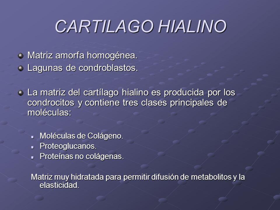 CARTILAGO HIALINO Matriz amorfa homogénea. Lagunas de condroblastos. La matriz del cartílago hialino es producida por los condrocitos y contiene tres