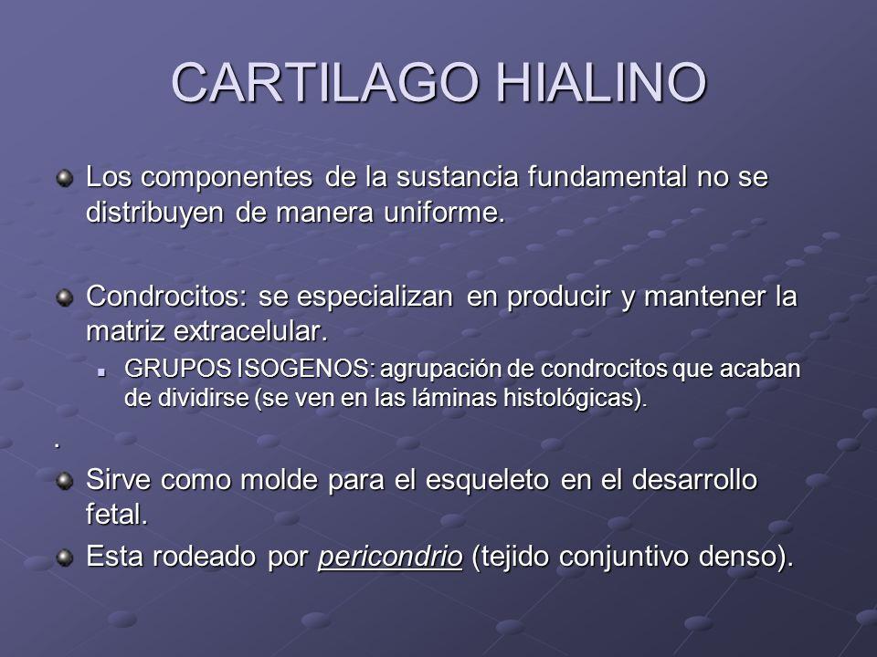 CARTILAGO HIALINO Los componentes de la sustancia fundamental no se distribuyen de manera uniforme. Condrocitos: se especializan en producir y mantene