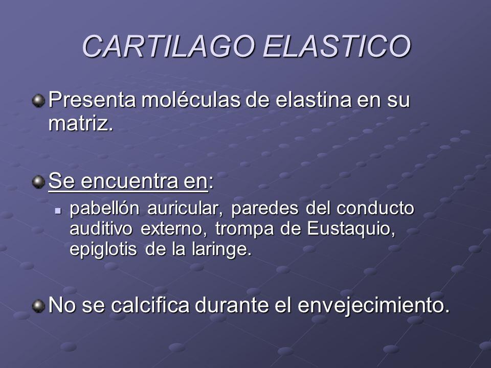 CARTILAGO ELASTICO Presenta moléculas de elastina en su matriz. Se encuentra en: pabellón auricular, paredes del conducto auditivo externo, trompa de