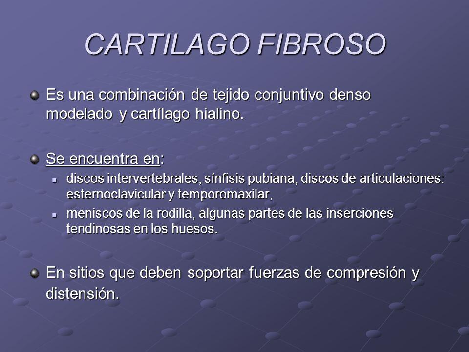 CARTILAGO FIBROSO Es una combinación de tejido conjuntivo denso modelado y cartílago hialino. Se encuentra en: discos intervertebrales, sínfisis pubia