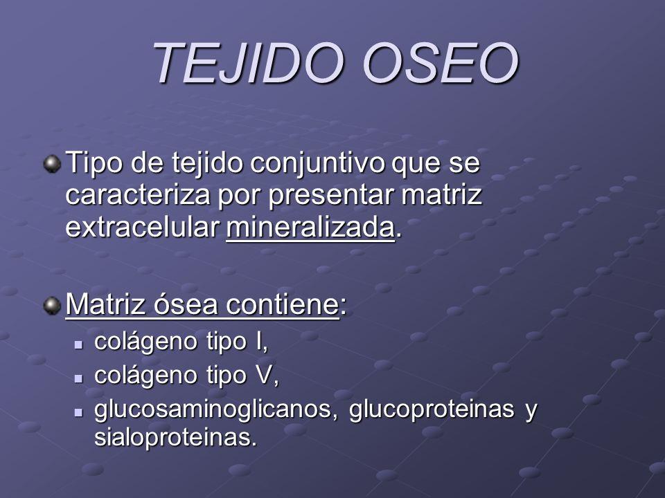 TEJIDO OSEO Tipo de tejido conjuntivo que se caracteriza por presentar matriz extracelular mineralizada. Matriz ósea contiene: colágeno tipo I, coláge