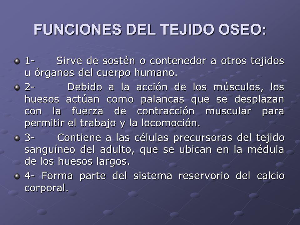 FUNCIONES DEL TEJIDO OSEO: 1- Sirve de sostén o contenedor a otros tejidos u órganos del cuerpo humano. 2- Debido a la acción de los músculos, los hue