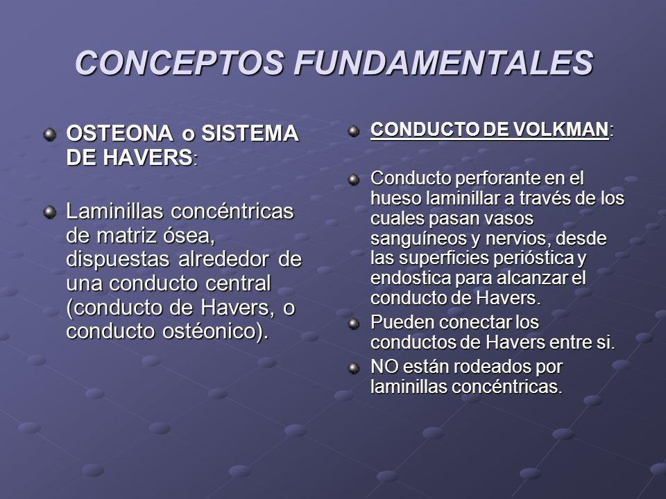 CONCEPTOS FUNDAMENTALES OSTEONA o SISTEMA DE HAVERS : Laminillas concéntricas de matriz ósea, dispuestas alrededor de una conducto central (conducto d