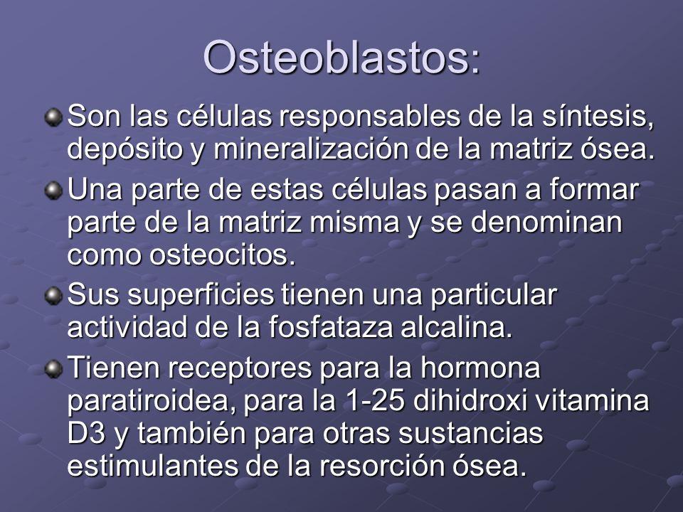 Osteoblastos : Son las células responsables de la síntesis, depósito y mineralización de la matriz ósea. Una parte de estas células pasan a formar par