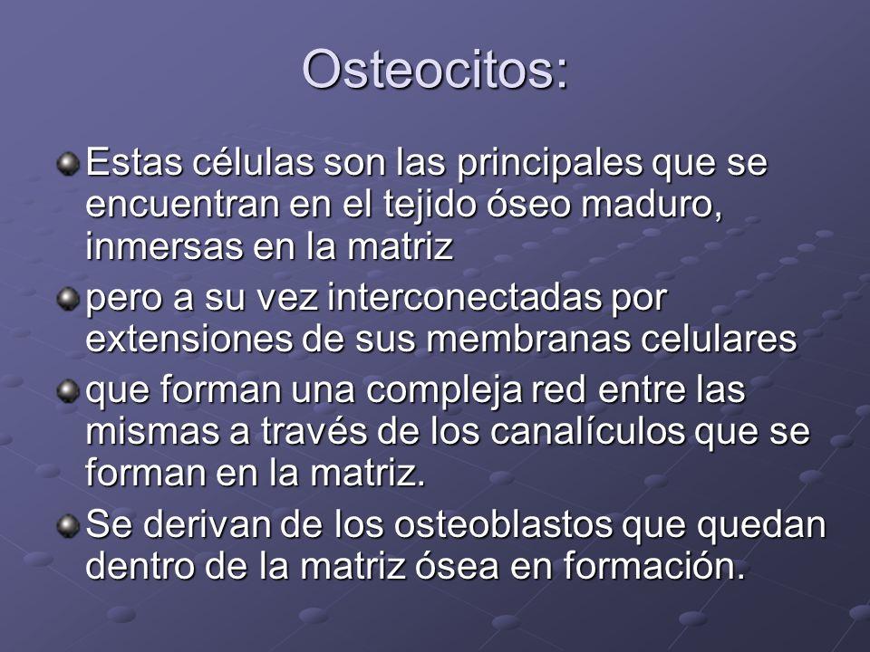 Osteocitos: Estas células son las principales que se encuentran en el tejido óseo maduro, inmersas en la matriz pero a su vez interconectadas por exte