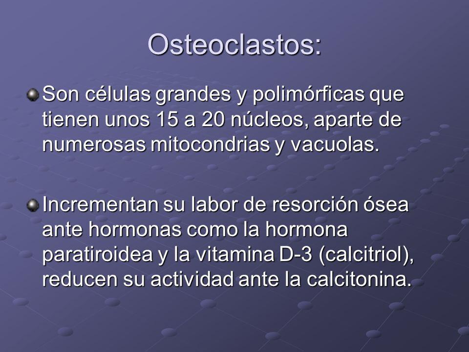 Osteoclastos: Son células grandes y polimórficas que tienen unos 15 a 20 núcleos, aparte de numerosas mitocondrias y vacuolas. Incrementan su labor de