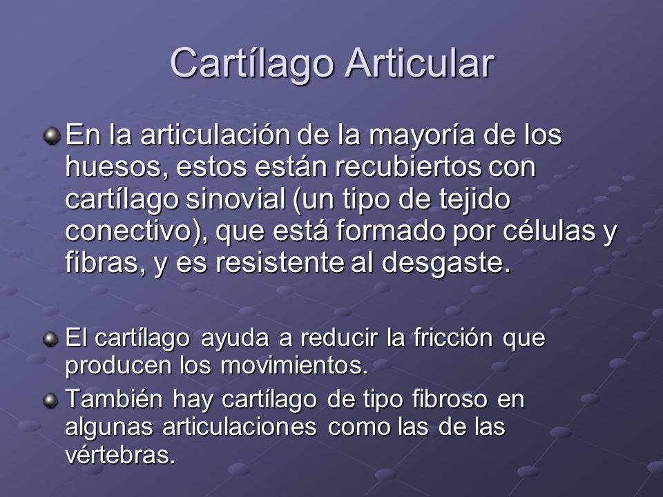Cartílago Articular En la articulación de la mayoría de los huesos, estos están recubiertos con cartílago sinovial (un tipo de tejido conectivo), que