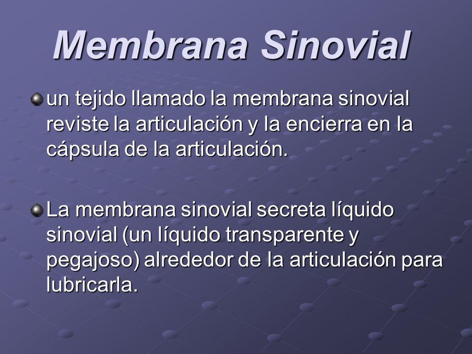 Membrana Sinovial Membrana Sinovial un tejido llamado la membrana sinovial reviste la articulación y la encierra en la cápsula de la articulación. La