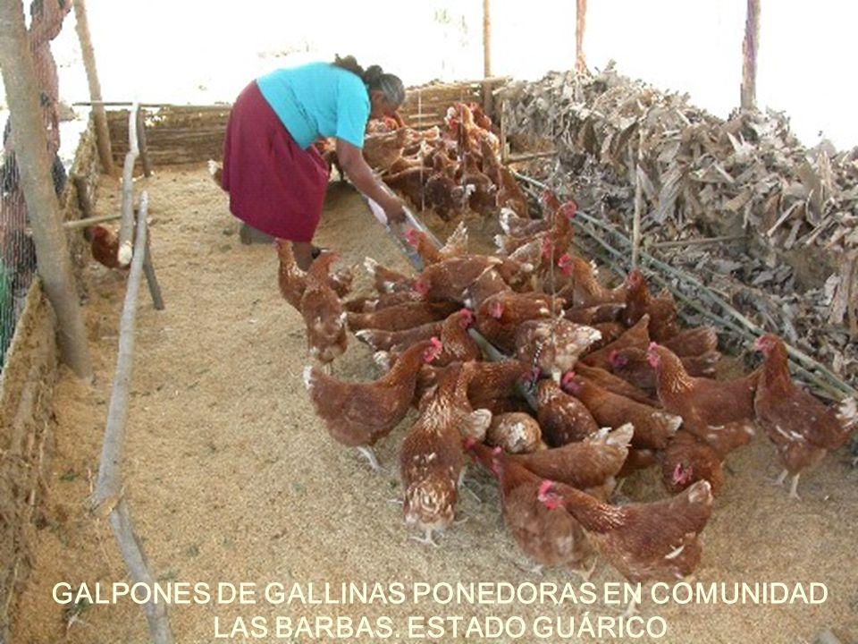 GALPONES DE GALLINAS PONEDORAS EN COMUNIDAD LAS BARBAS. ESTADO GUÁRICO