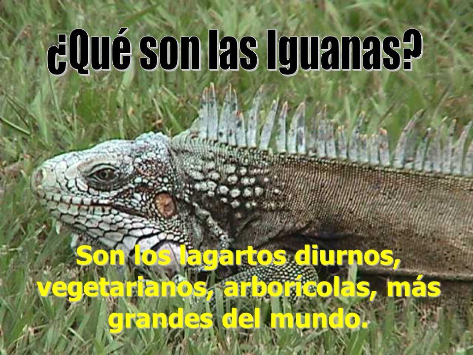 Son los lagartos diurnos, vegetarianos, arborícolas, más grandes del mundo.