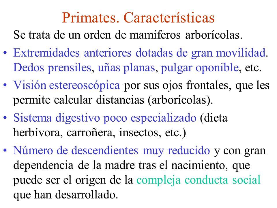 Orden primates En el orden primates están incluidos los: - Prosimios - Platirrinos (monos del nuevo mundo) - Catarrinos: monos del viejo mundo (cercopitecos), gibones, monos: orangután, gorila, chimpancé, etc.) - Homínidos