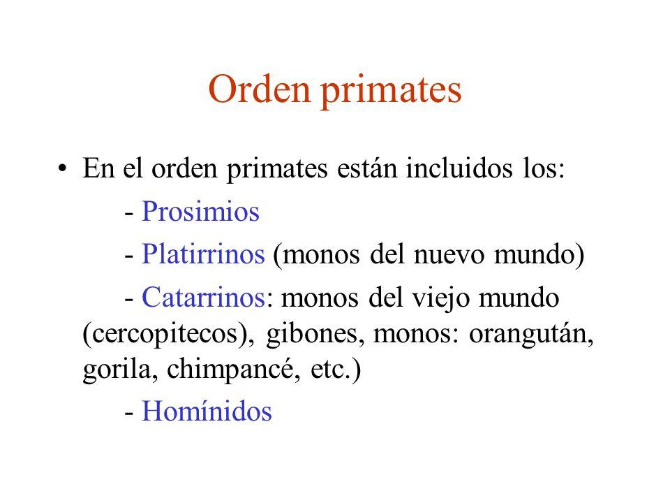 Orden primates En el orden primates están incluidos los: - Prosimios - Platirrinos (monos del nuevo mundo) - Catarrinos: monos del viejo mundo (cercop
