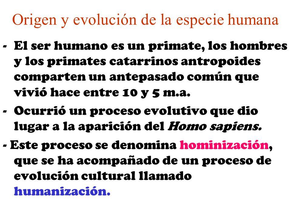 Origen y evolución de la especie humana -El ser humano es un primate, los hombres y los primates catarrinos antropoides comparten un antepasado común