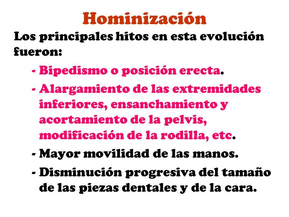 Hominización Los principales hitos en esta evolución fueron: -Bipedismo o posición erecta. -Alargamiento de las extremidades inferiores, ensanchamient