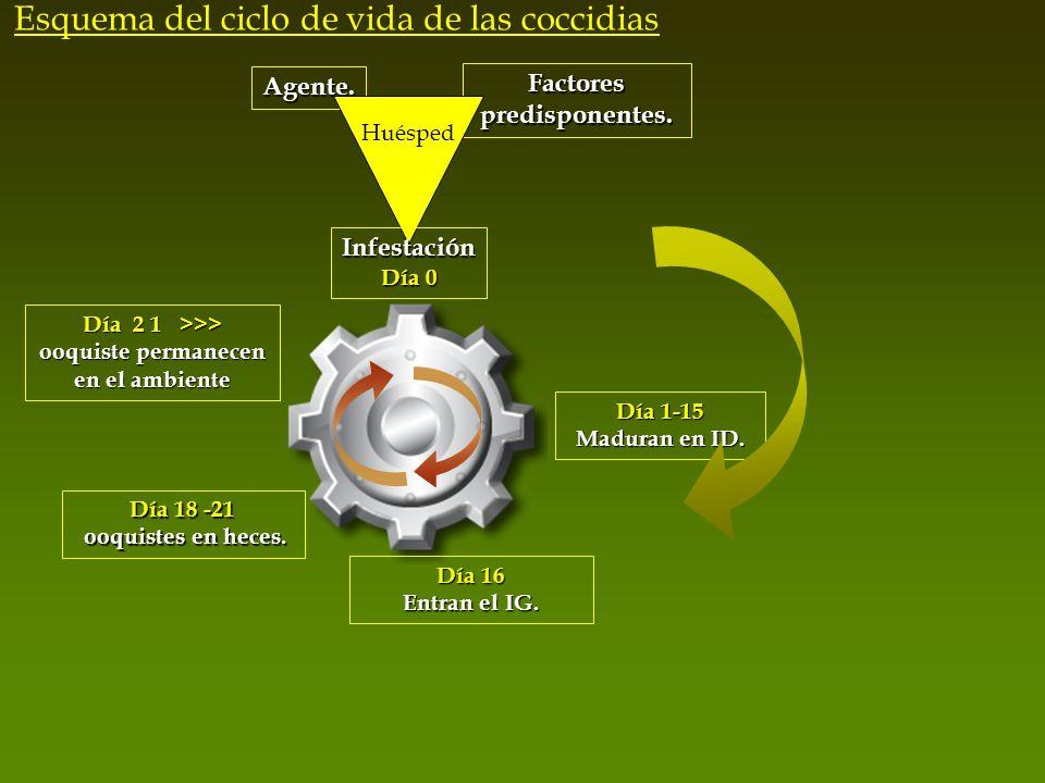 Agente. Factores predisponentes. Huésped Infestación Día 0 Día 1-15 Maduran en ID. Día 16 Entran el IG. Día 2 1 >>> ooquiste permanecen en el ambiente