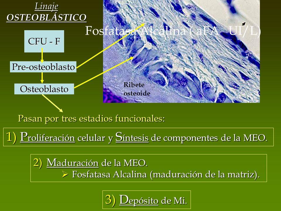 Ribete osteoide CFU - F Linaje OSTEOBLÁSTICO Pre-osteoblasto Osteoblasto Pasan por tres estadios funcionales: 1) P roliferación celular y S íntesis de